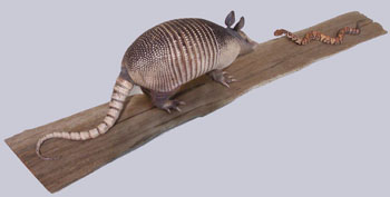 Armadillo with Young Cottonmouth Snake on Board