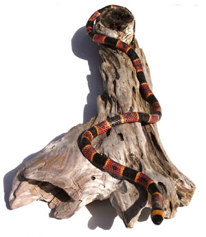 Coral Snake on Driftwood Branch 1