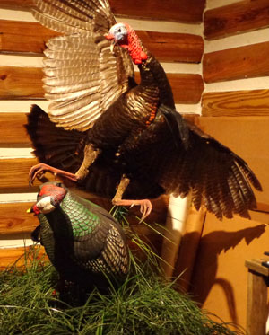 Gobbler Fighting with Decoy