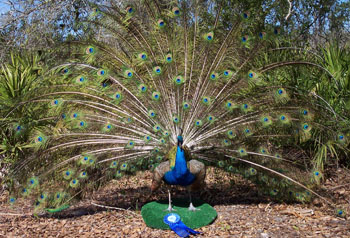 Blue Peacock Display Mount