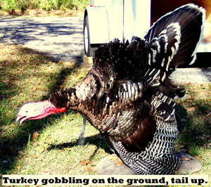 Turkey Gobbling on the Ground with Tail Up